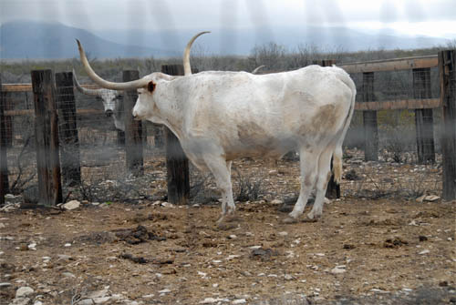 terlingua-ranch-longhorns-20150131-01-500