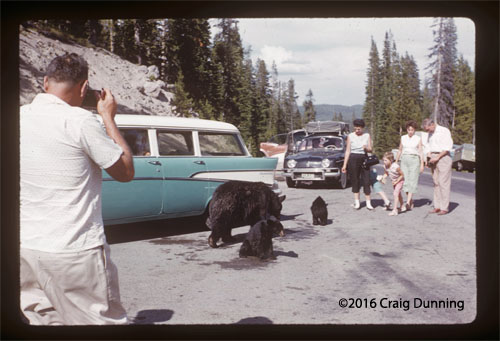 A mama bear and her two cubs are surrounded by park visitors at Yellowstone National Park in August 1959.